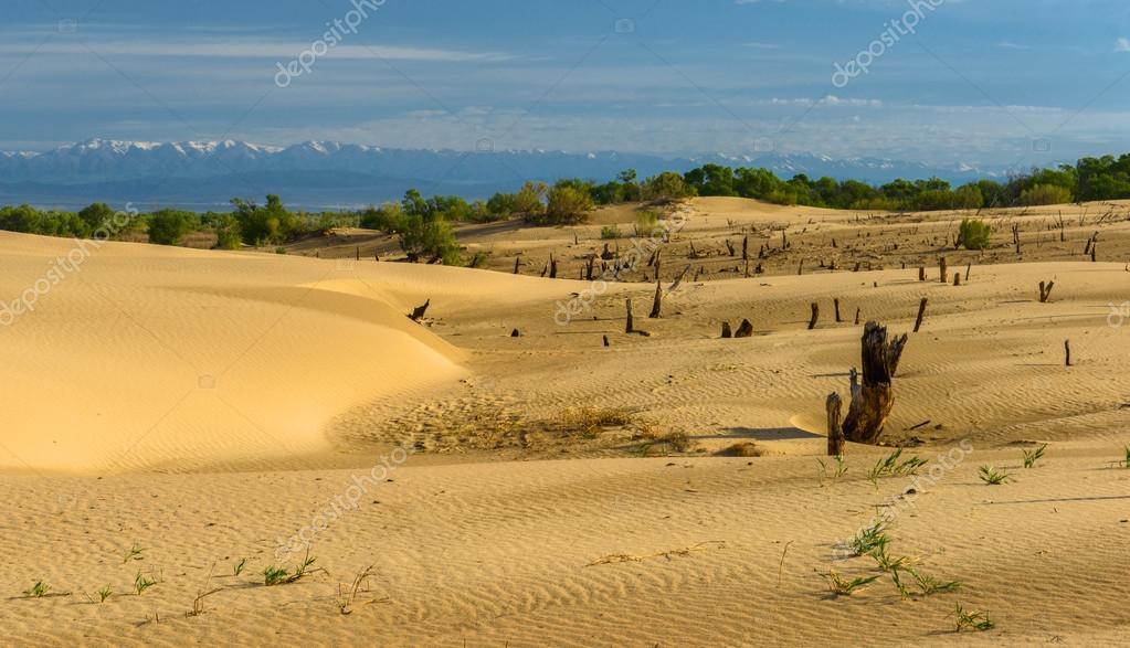 Dead trees in sand dunes