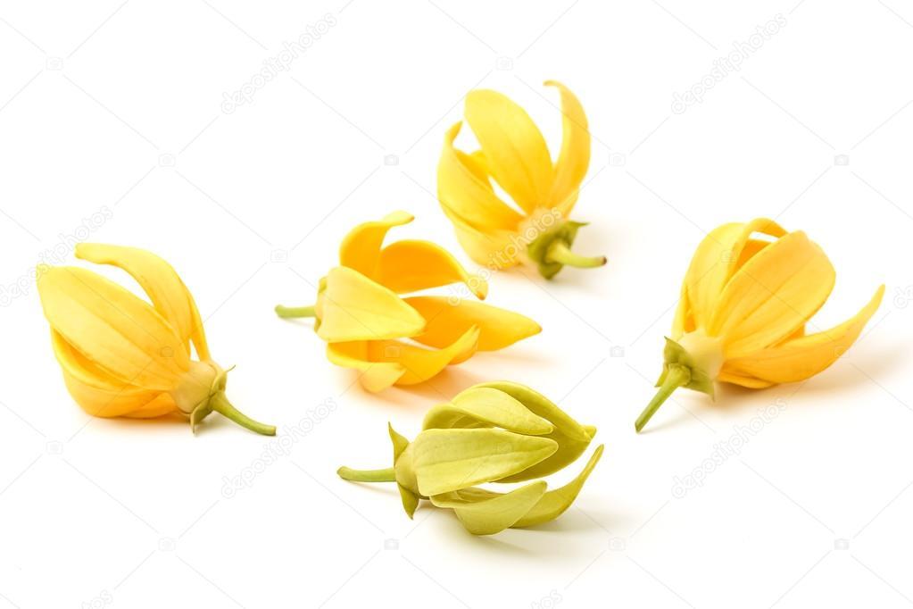 Ylang-Ylang-Blüte, gelbe duftende Blume auf weißem Hintergrund ...