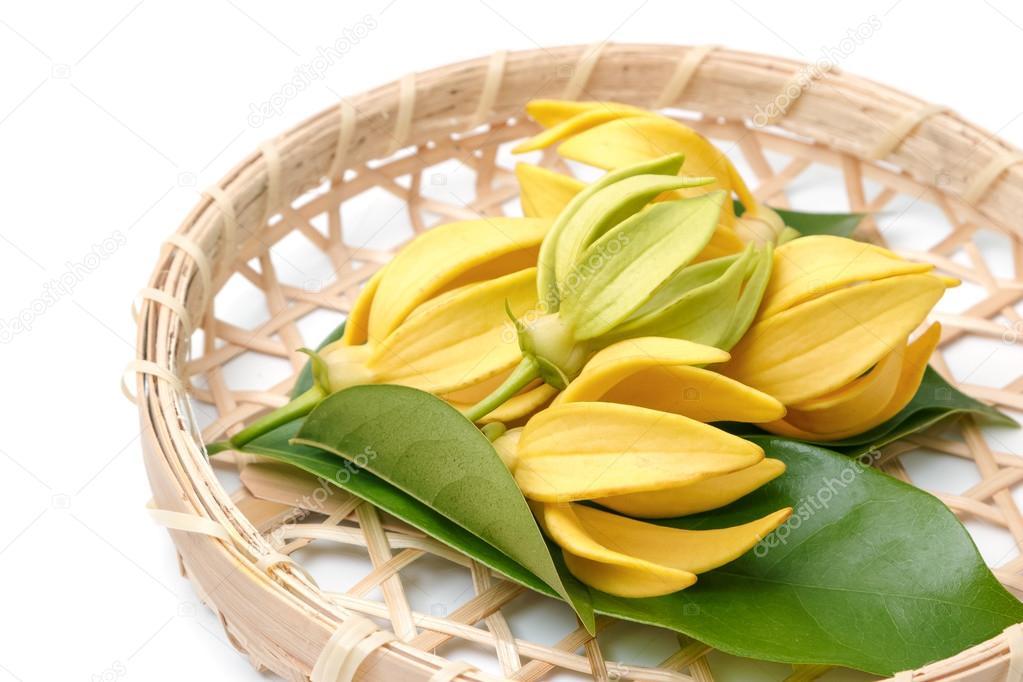 Ylang-Ylang-Blüte, gelbe duftende Blume auf einem weißen Hintergrund ...