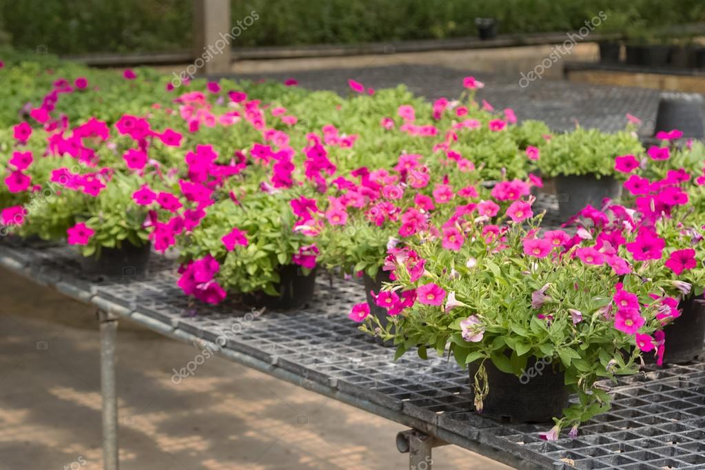 Flores en macetas a la venta en vivero de plantas fotos for Viveros de plantas de ornato