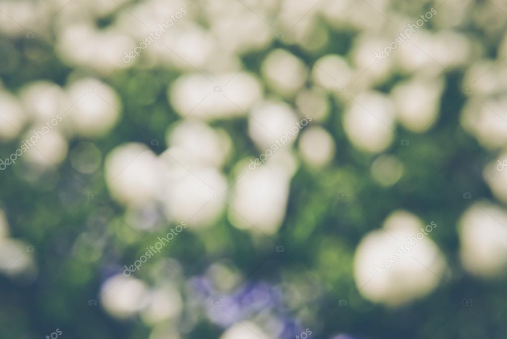 White Tulip Flowers Blurred