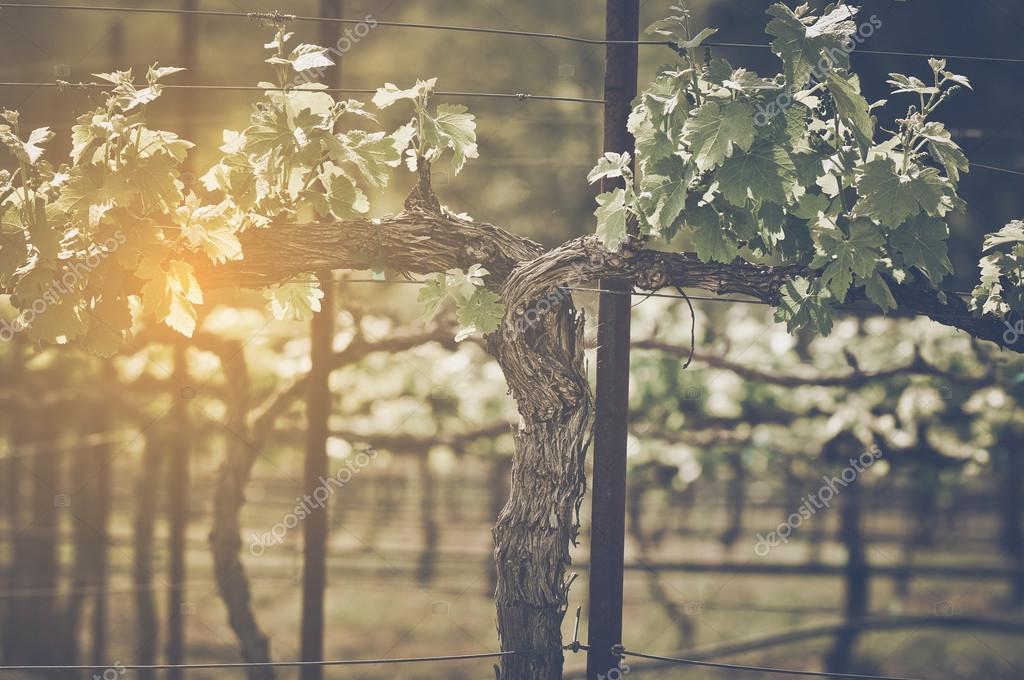 Grape Vine with Vintage Filter