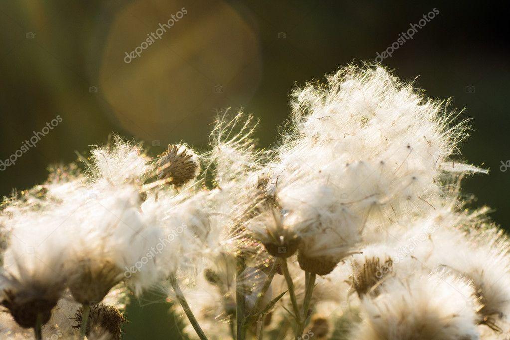 White thistle flowers stock photo gyurma 116526904 white thistle flowers stock photo mightylinksfo