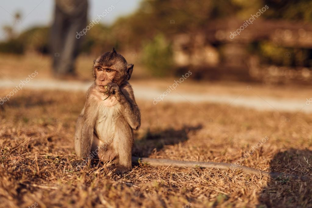 The monkey in the Angkor Wat, Cambodia