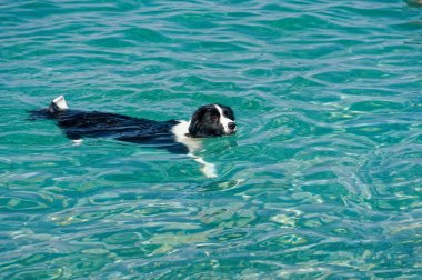 A dog is swimming in a blue sea.border collie