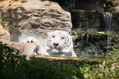 Tiger in the waterfall