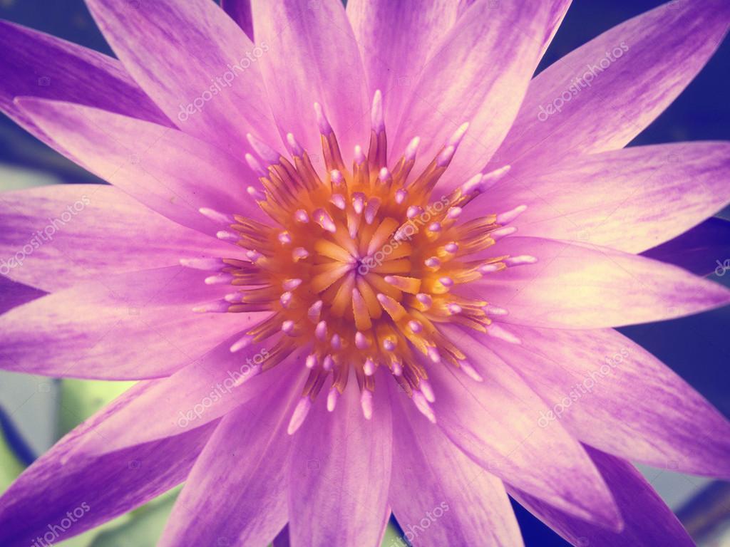 Lotus Flower Stock Photo Luknaja 57062875