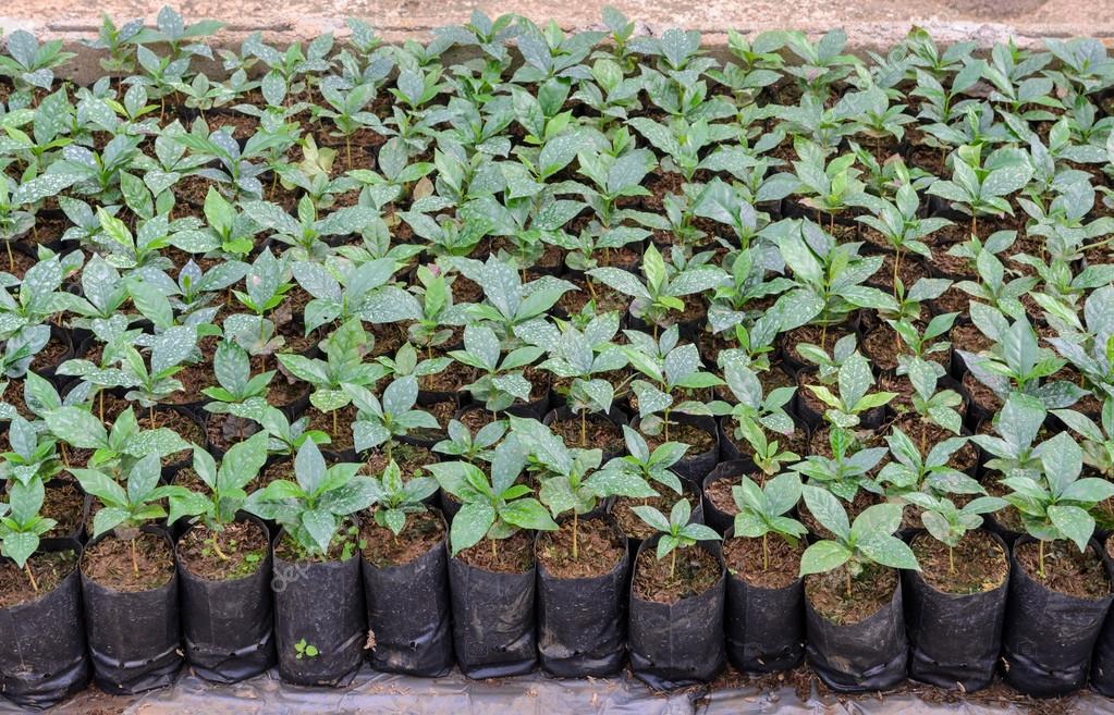 Plantas de caf en vivero fotos de stock boonsom for Vivero de cafe pdf