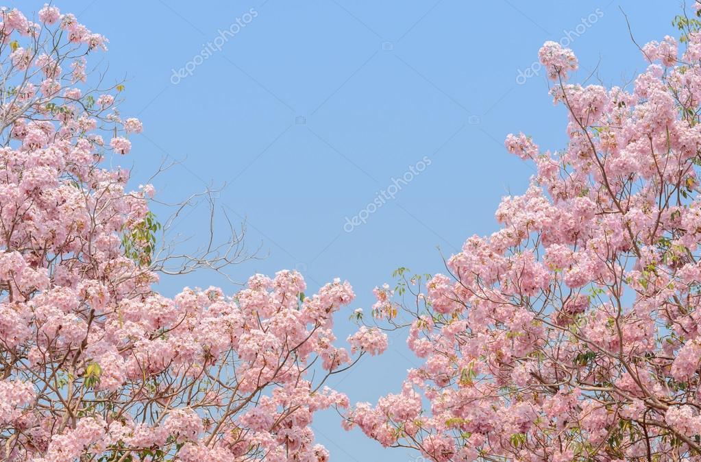 Amado Árvore de Ipê rosa trombeta — Fotografias de Stock © boonsom #83033746 KF57