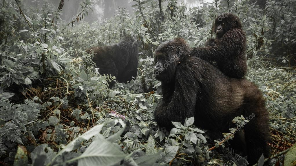 A female mountain gorilla with a baby in Rwanda