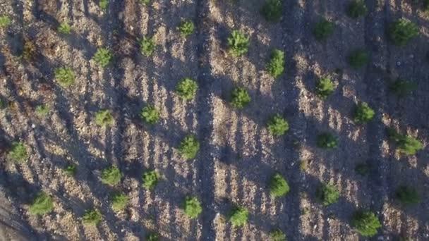 A légi felvétel a fenyőfa ültetvény