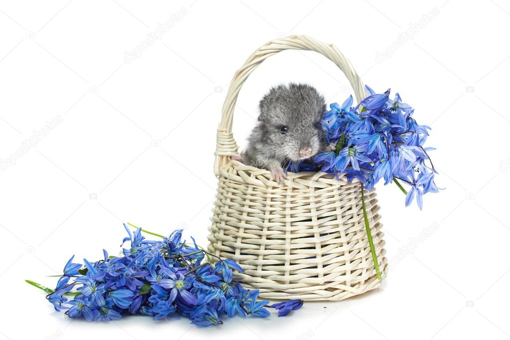Chinchilla in Korb mit Blumen — Stockfoto © Svetography #108218578