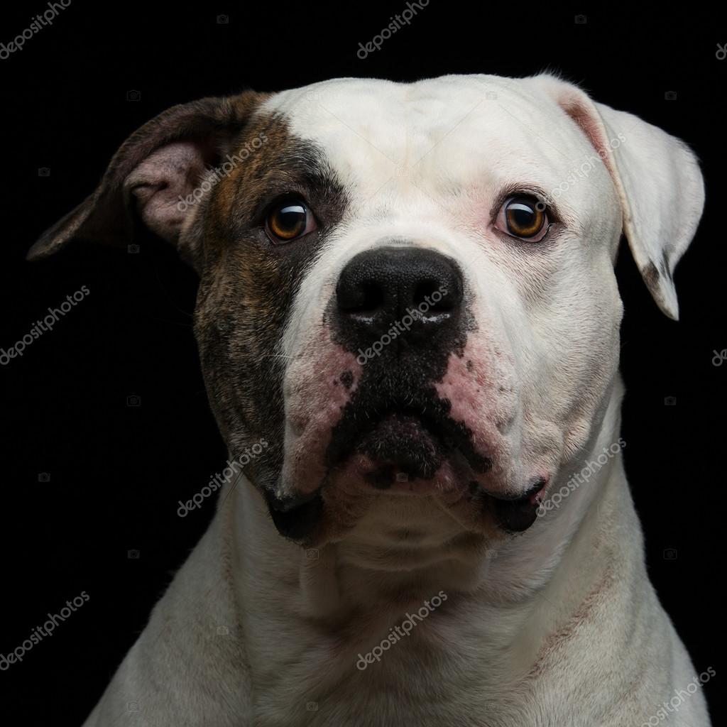 Bulldog Americano Sobre Fundo Preto Stock Photo Svetography