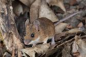 Yellow Necked Mouse (Apodemus Flavicollis)