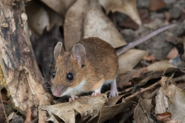 Yellow Necked Mouse (Apodemus Flavicollis)