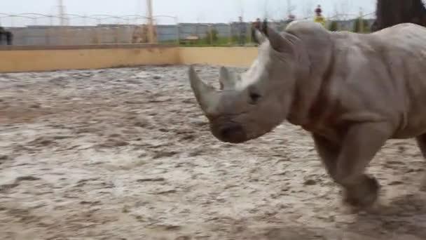 Rhino Walking in a Zoo