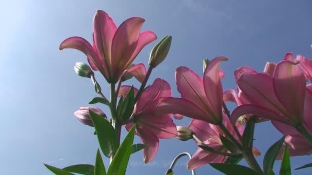 Výška v létě, velké květy oranžové barvy proti obloze