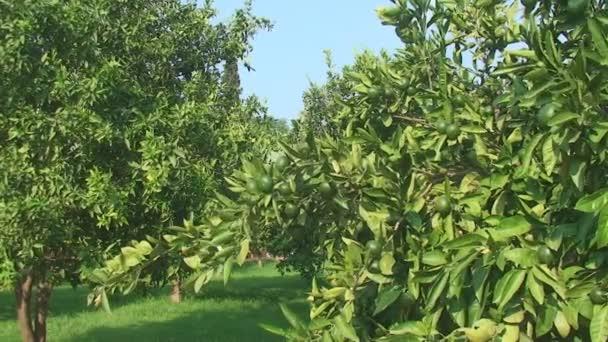 grüne Linde wächst frische Zitrusfrüchte