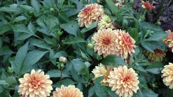 různé barevné dahlia květiny v letní zahradě