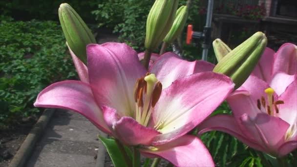 Velká, krásná oranžová lilie, detailní v zahradě