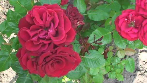 Velké, krásné červené růže, houpat ve větru