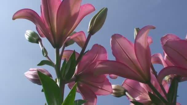 letní, modrá obloha, oranžové květy lilie v zahradě