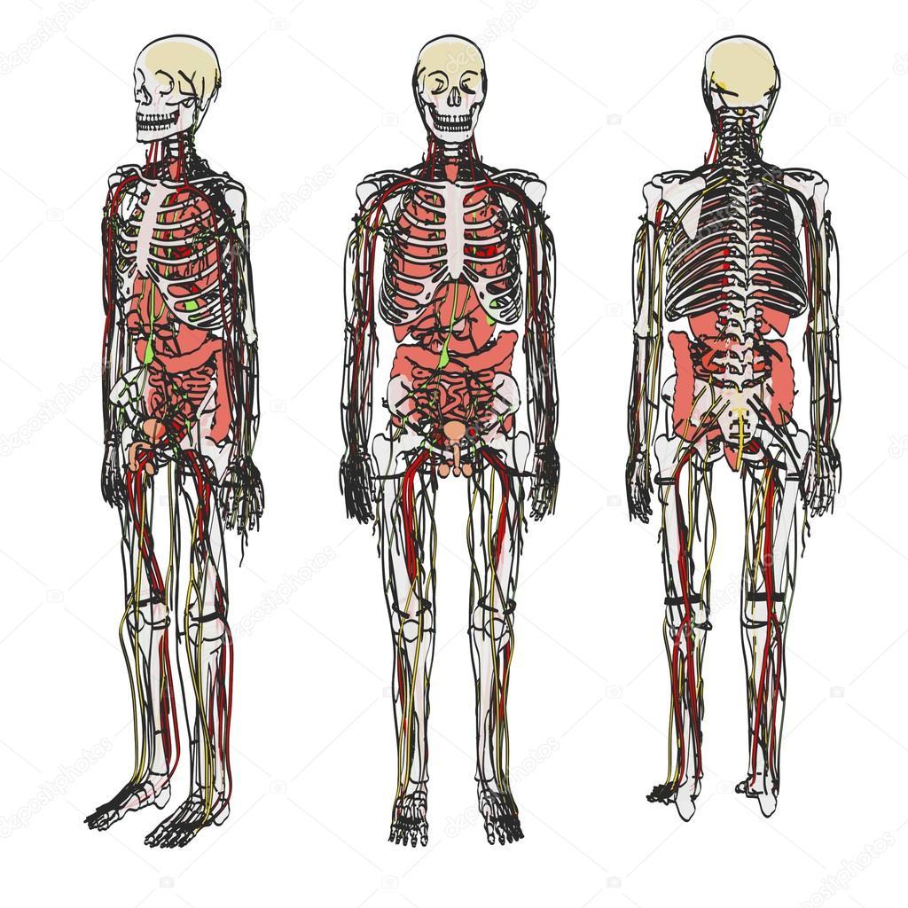 2d Cartoon Illustration Of Human Anatomy Stock Photo