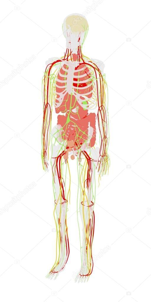 Ilustración de dibujos animados 2D de la anatomía humana — Fotos de ...