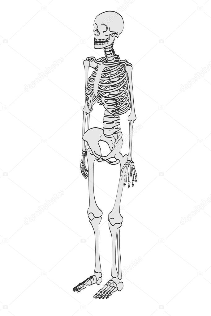 Ilustración de dibujos animados 2D del esqueleto femenino — Foto de ...