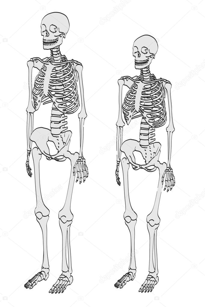 Ziemlich Menschliches Weibliches Skelett Fotos - Menschliche ...