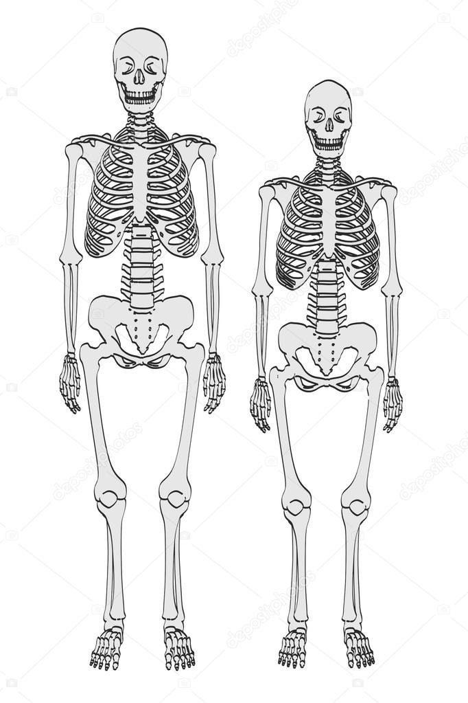 cartoon illustration of skeletons - male and female — Stock Photo ...
