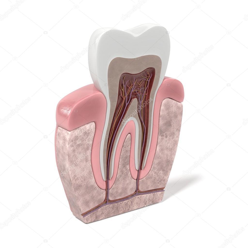 3D Renderings des Zahn-Anatomie — Stockfoto © 3drenderings #108124426