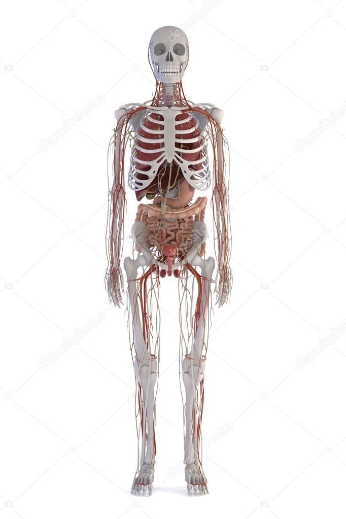 3D Darstellungen der menschlichen Anatomie — Stockfoto ...