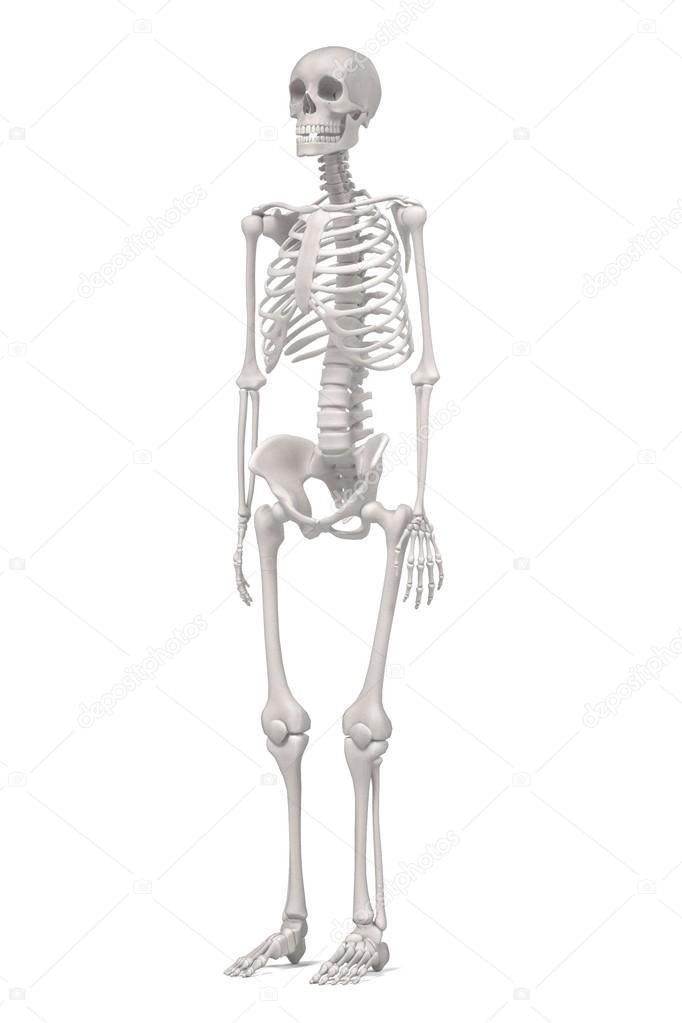 3D Darstellungen des menschlichen Skeletts — Stockfoto ...