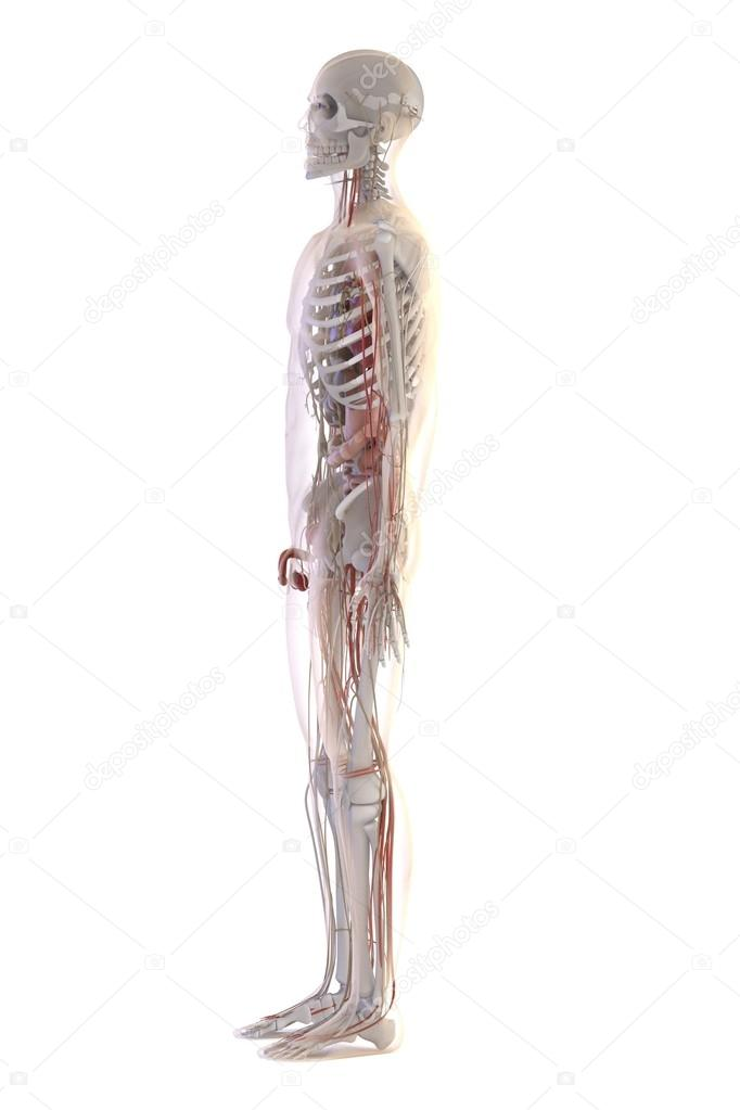 Renders 3D de anatomía humana — Fotos de Stock © 3drenderings #108143928