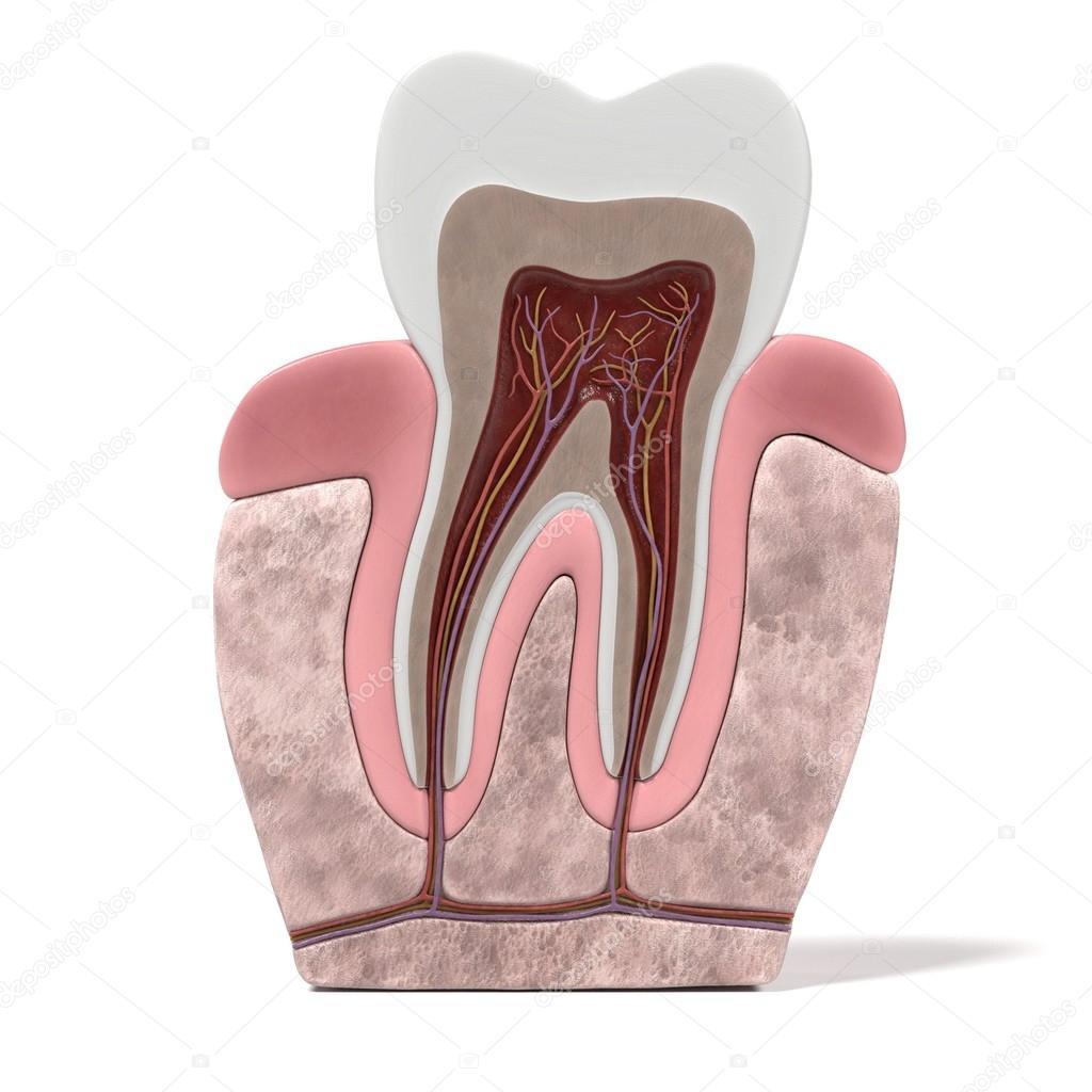 3D Renderings des Zahn-Anatomie — Stockfoto © 3drenderings #108144002