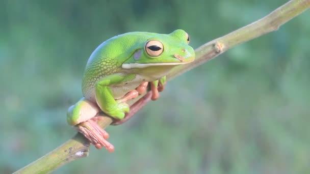 video stromových žab na větvích, stromových žab ve volné přírodě