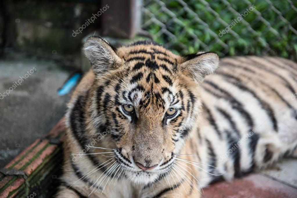 Tiger Resting in Its Cage
