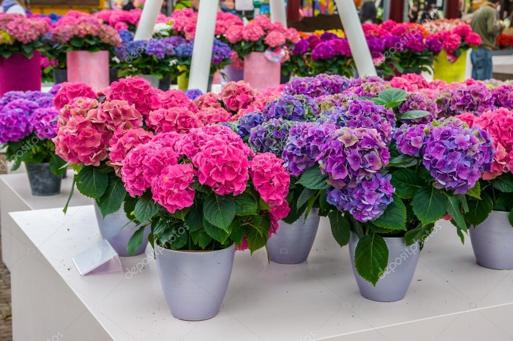Rosa y morado de flores de hortensia hortensias en macetas - Poda de hortensias en maceta ...