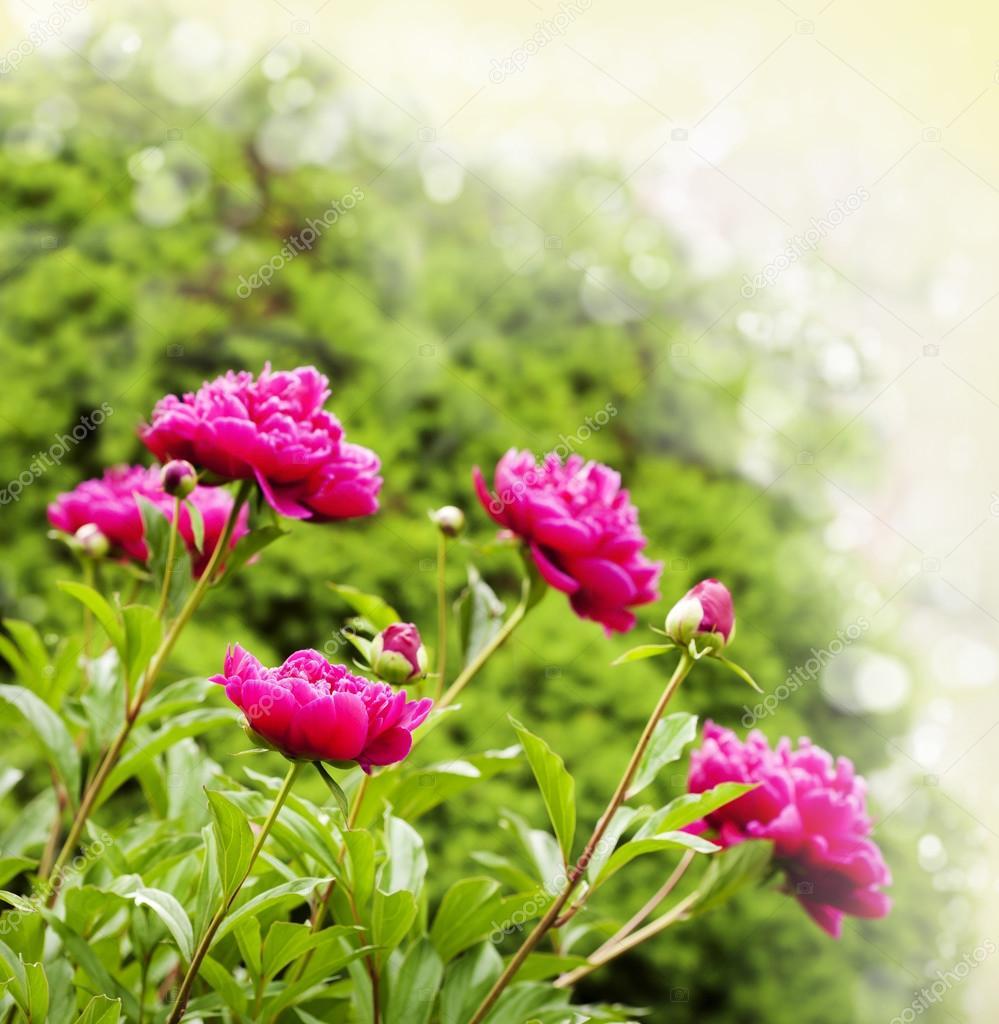 Beautiful Peonies on blurred garden background