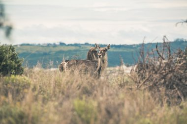 Two elands standing together in field of grass. Mpongo Game rese