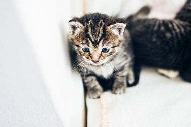 Tiny tabby kittens