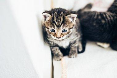 Tiny tabby kittens