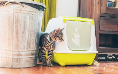 tabby standing alongside a litter box