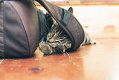 Cat chewing on backpack lying on floor