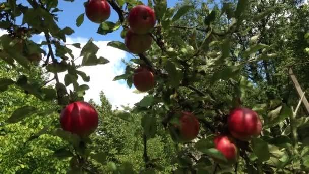několik červená jablka visí na stromě