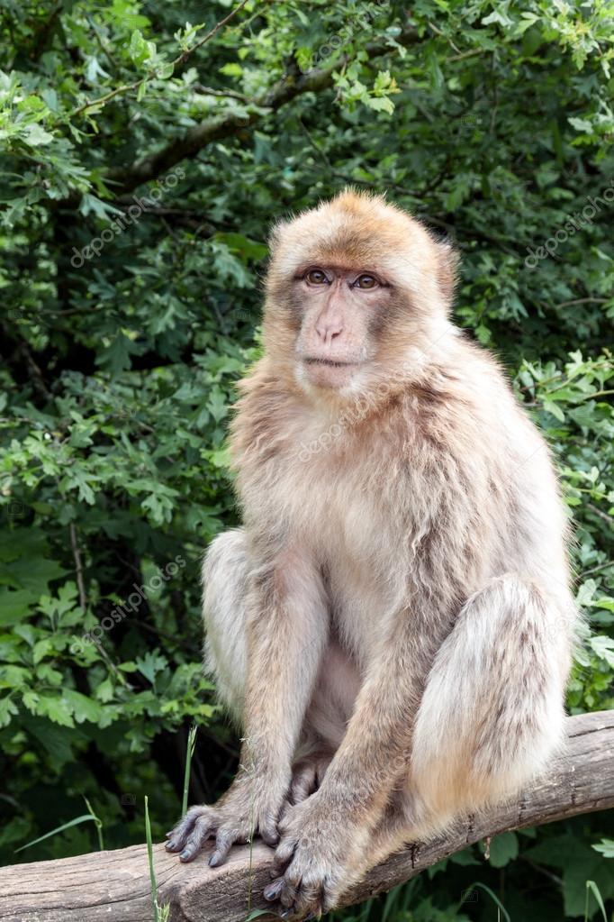 Nagy fasz majom