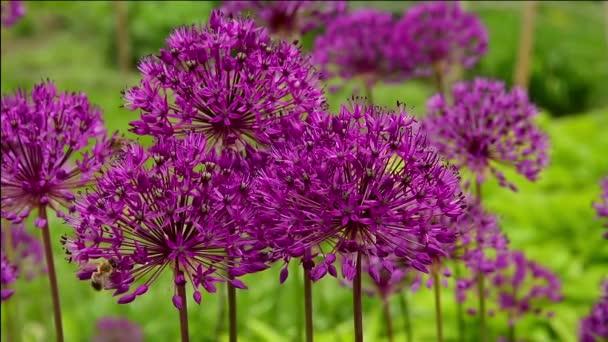 česnek Fialový květ