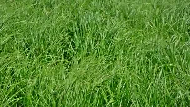 Green grass in the wind.