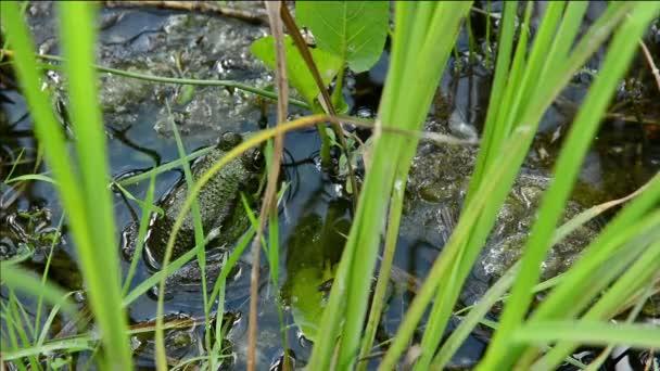 Frosch im Wasser aus nächster Nähe.